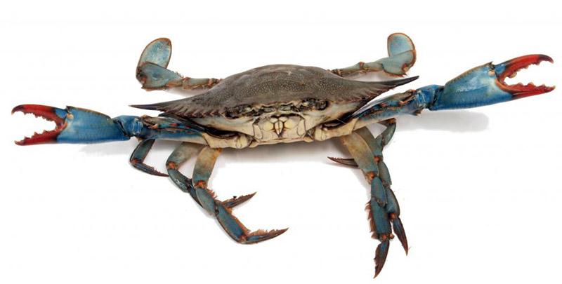http://adamsowden.com/wp-content/uploads/2017/01/live-blue-crab.jpg